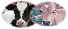 Diarrè bekæmpelse til kalve